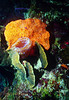 ORANGE ELEPHANT EAR SPONGE - With Azure Vase Sponge, and Sunray Lettuce Coral