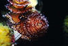 CHRISTMAS TREE WORM - Live in tubes usually encased in living coral; colors and patterns of radioles variable
