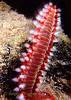 BEARDED FIREWORM - Glass like bristles can puncture skin and break off causing a painful burning sensation