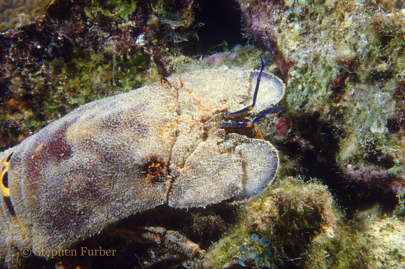 SPANISH LOBSTER - Hide in protective recesses during the day