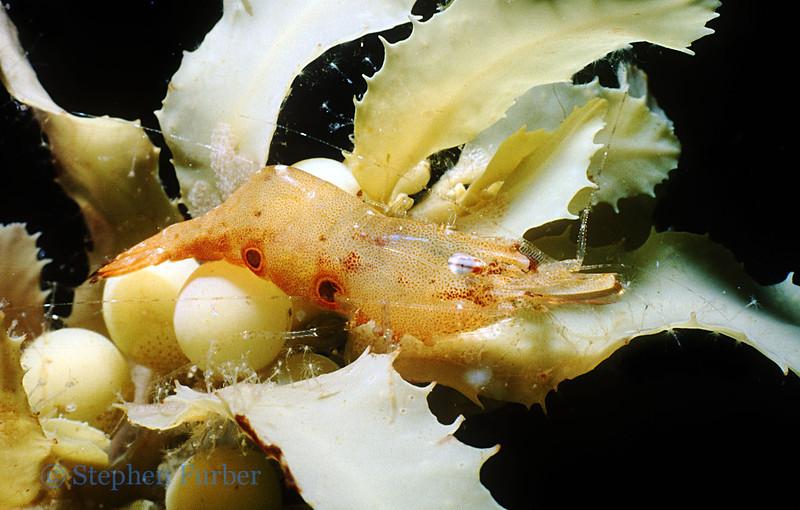 UNKNOWN SHRIMP - In Sargassum