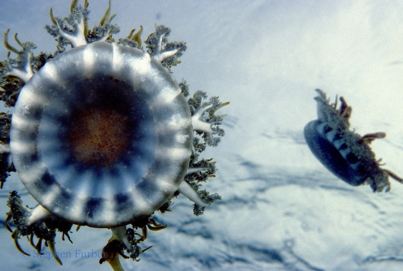 MANGROVE UPSIDEDOWN JELLY - Inhabit shallow mangrove bays and lagoons with mud and sandy bottoms