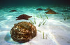 FURRY SEA CUCUMBER - Balled up