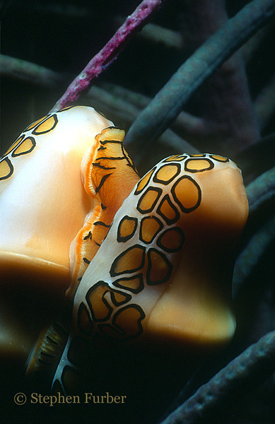 FLAMINGO TONGUE - notice how mantle (spots) is extended over shell