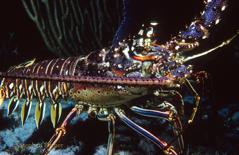 CARIBBEAN SPINY LOBSTER - Inhabit reefs; when disturbed can swim backwards with amazing speed