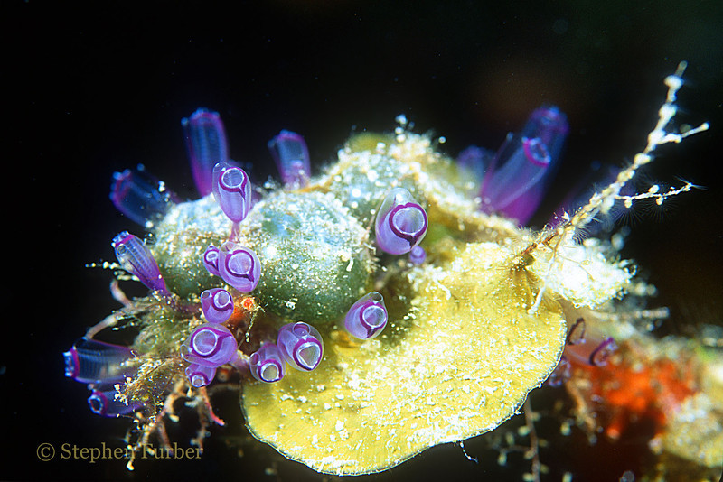 PAINTED TUNICATES - Grow in clusters from a few to 1,000's; colors will vary