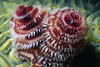 CHRISTMAS TREE WORM - Shy radioles will retracts on approach into tube