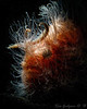 Bad hair day, backlit hairy frogfish