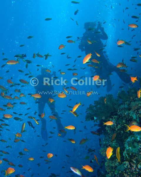 "Red Sea, Egypt -- Divers ascend through a cloud of antheas. © Rick Collier / RickCollier.com.<br /> <br /> <br /> <br /> <br /> <br /> Egypt; ""Red Sea""; vacation; travel; destination; underwater; uw; ""u/w""; scuba; ""scuba dive""; ""scuba diving""; dive; diving; coral; reef; ""coral reef""; ""dive site""; ""Ras Muhammad""; ""Ras Mohamed""; ""national park""; ""underwater park""; ""Ras Muhammad National Park""; ""nature reserve""; shark; ""shark reef""; diver; divers; fish; anthea; scalefin; ""scalefin anthea"";"