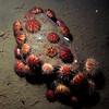 Bouquet of  sea urchins. Fornebu, 1/11 - 2009