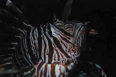 """Common Lionfish, """"Pterois volitans"""".  Beware is highly venomous."""
