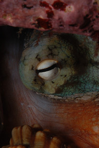 "Eye of Sauron, probably the Sydney Octopus, ""Octopus tetricus"".  The horizontal pupil reminds me of the Cylons in Battlestar Galactica"