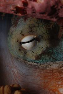 Octopus eye.  Note horizontal pupil