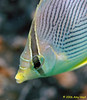 FoureyeButterflyfish