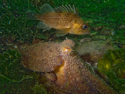 Red octo and brown rockfish
