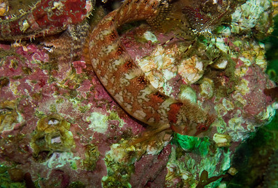 Mosshead warbonnet and friends