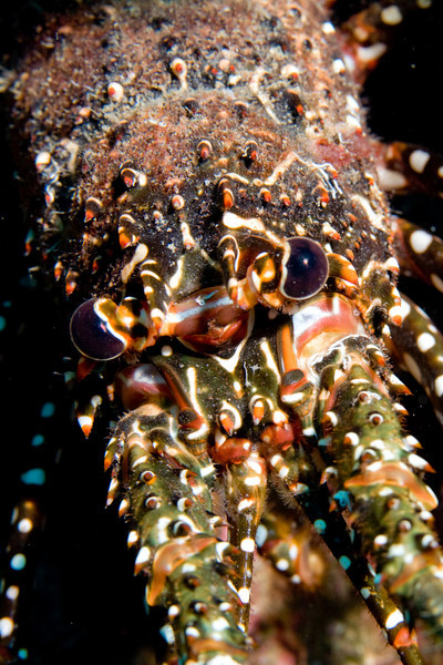 Spotted Caribbean Lobster