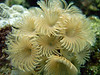 Social Feather Duster Tube Worms