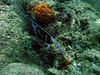 Pedersen Cleaner Shrimps & Corkscrew anemone