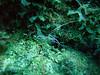 Pedersen Cleaner Shrimp