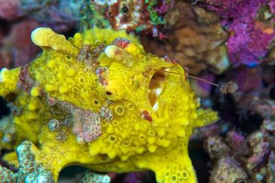 Warty Frogfish   Antennarius maculatus