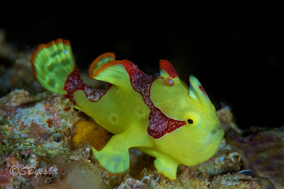 Juvenile Warty Frogfish