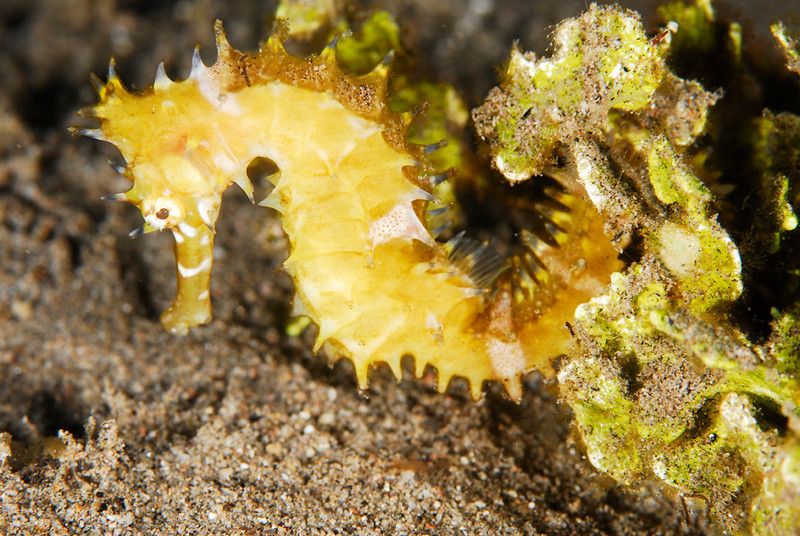 Yelow seahorse at Dauin North