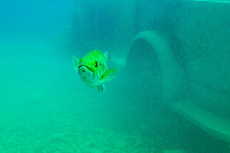 Largemouth Bass, Dutch Springs - August 2009