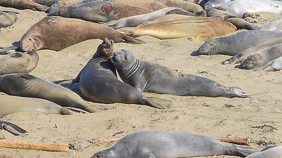 ELEPHANT SEALS OF PIEDRAS BLANCAS (June - 2016)