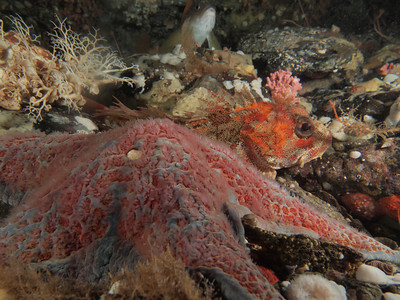 "© 2012 Jackie Hildering-024274 - Leather star. ""Neighbours"": include red Irish lord, basket star and female kelp greenling."