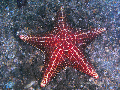 Cushion sea star.