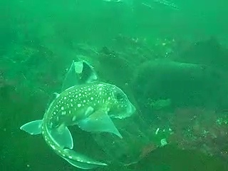 Many ratfish eating mussle bits broken up by a crab
