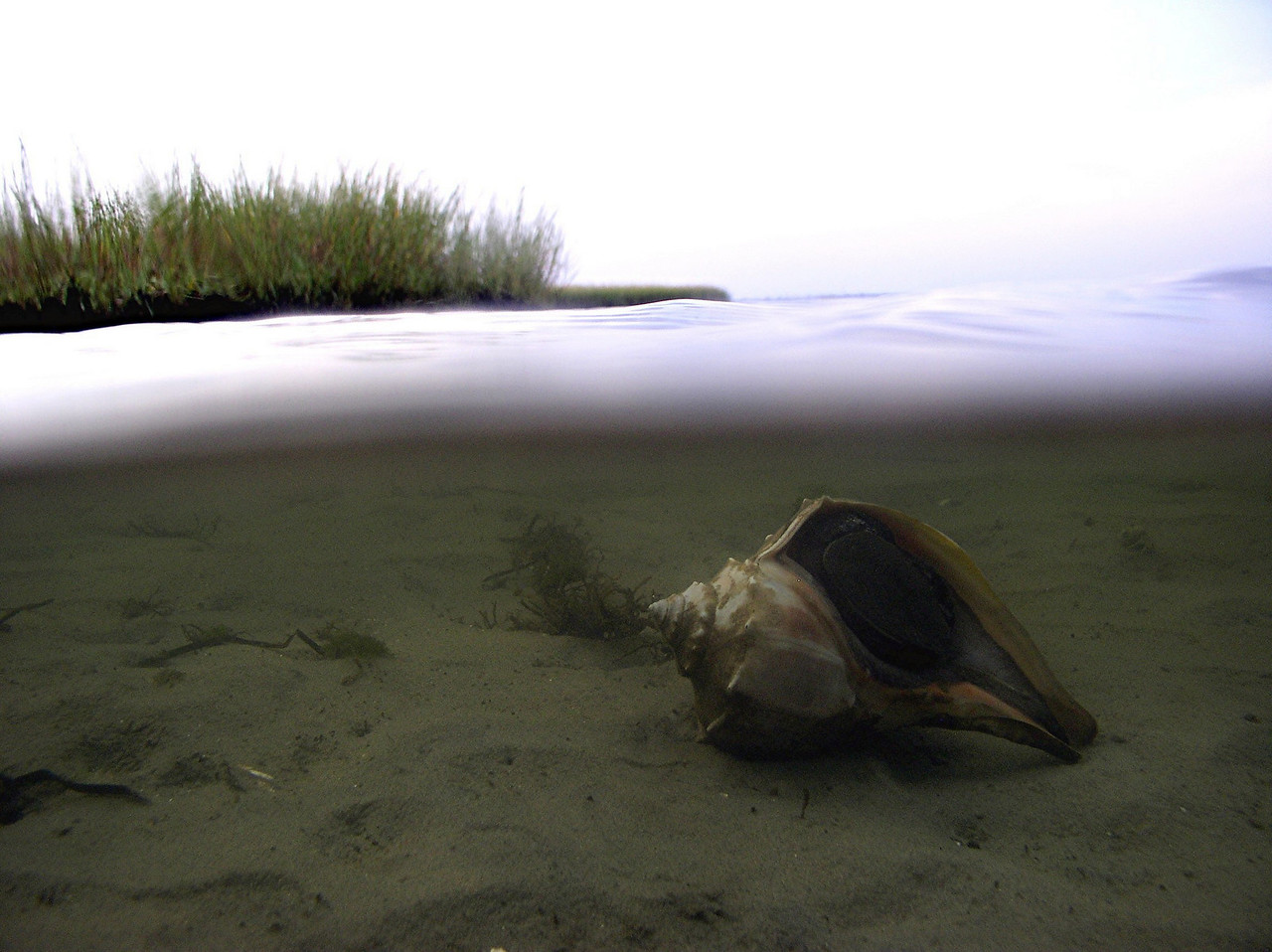 Knobbed Whelk<br /> Busycon carica<br /> Found subtidally on sandy bottoms, this carnivorous snail is not a voracious eater; one large clam a month usually satisfies them.  <br /> First it uses muscular foot to steady and envelop a bivalve. It then forces open the two shells by using the edge of its own shell as a wedge.  Finally, it inserts it proboscis and radula into the shell and ingests the clam.