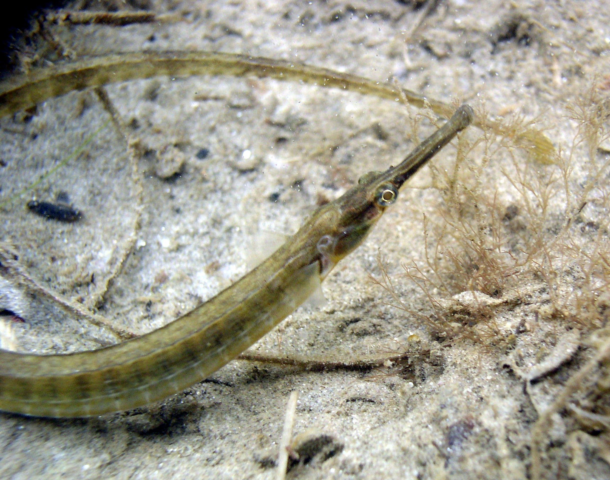 Northern Pipefish<br /> Syngnathus fuscus<br /> Perfectly camouflaged, the long, thin, and mottled brown body resembles the decaying eelgrass drifting on the bay floor.