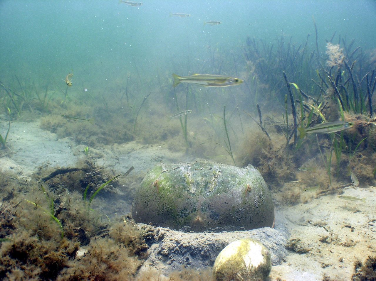 Horseshoe crabs are more closely related to arachnids (spiders, scorpions, ticks, mites...) than to crustaceans, such as crabs.  This chelicerate plows through the sand in search of shellfish and worms.  Its telson not only functions as a rudder, but can be used to right itself if it's accidentally turned over.
