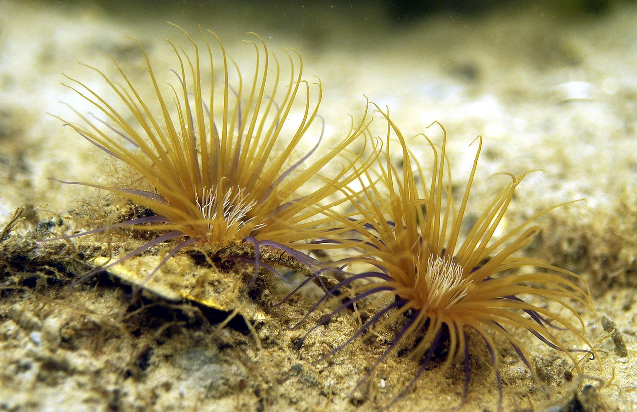 Burrowing Anemone<br /> Ceriantheopsis americanus <br /> Tentacles in two distinct whorls.<br /> Stinging cells called nematocysts on tentacles capture food and bring toward central mouth.