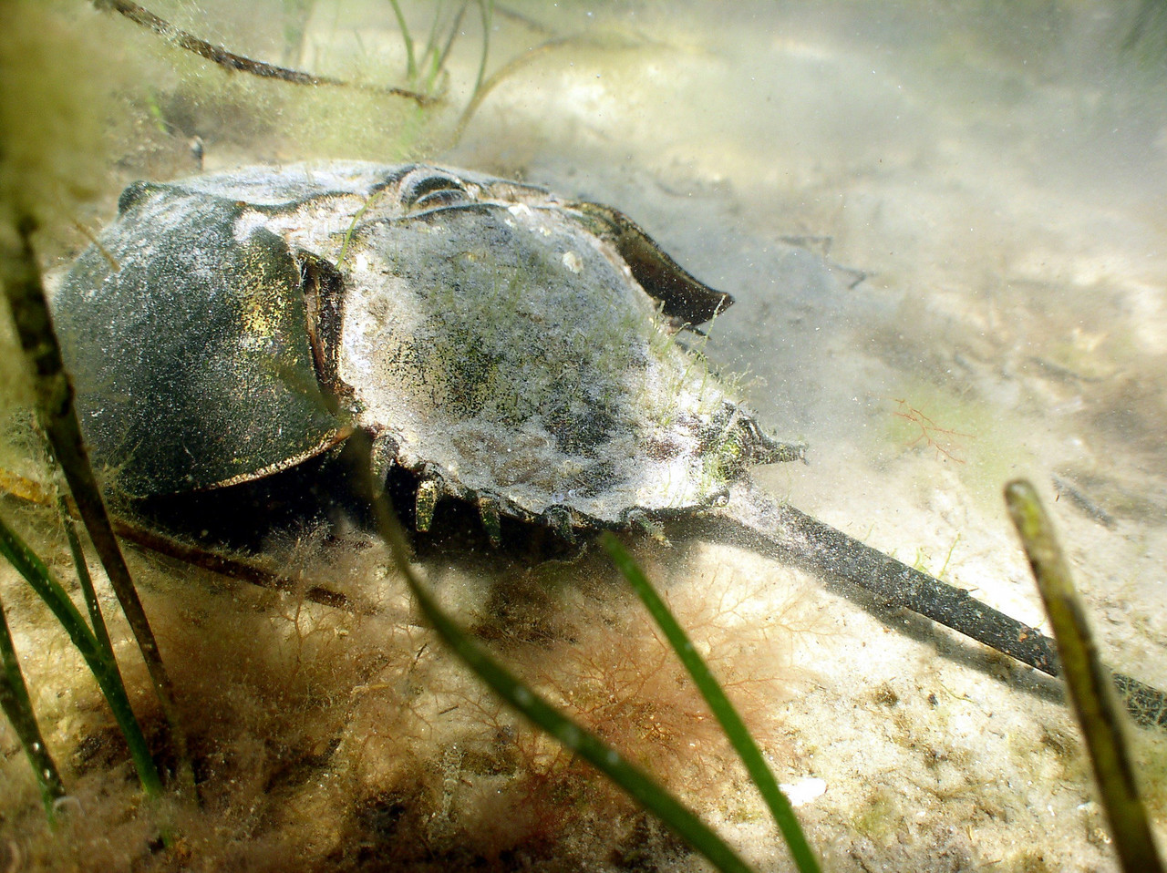 Horseshoe Crab<br /> Limulus polyphemus<br /> Known as a living fossil, its ancestors have remained unchanged for over 300 million years.  They are native, or indigenous to our coast, and return to the place they were born to mate and spawn.