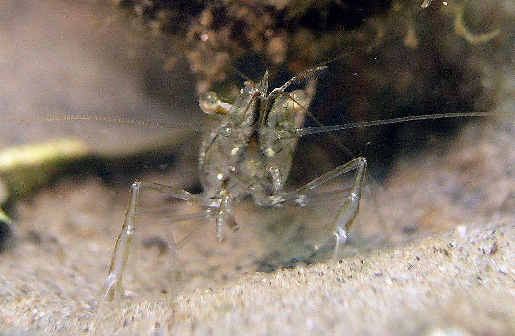 "Marsh Grass Shrimp<br /> Palaemonetes vulgaris<br /> Translucent with brown or red spots for camouflage. Up to 2""long."