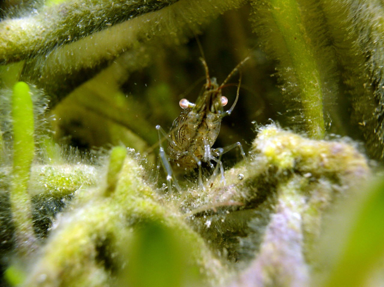 It can even feed on hydroids which are growing on green algae.  Hydroids are animals related to sea anemones, coral and even jellyfish.  They have stinging cells called nematocysts to capture there food.