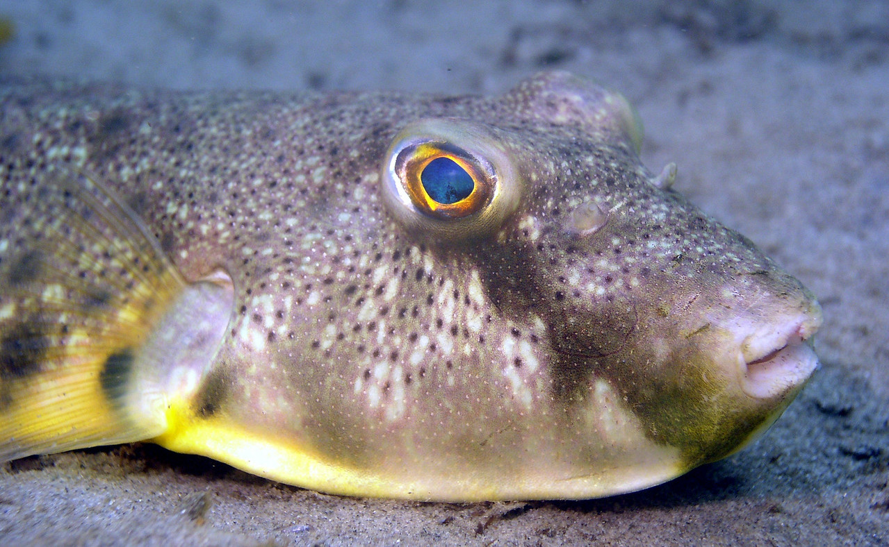 Northern Puffer<br /> Sphoeroides maculatus<br /> Teeth fused to form beak which cut and crush hard-shelled invertebrates.