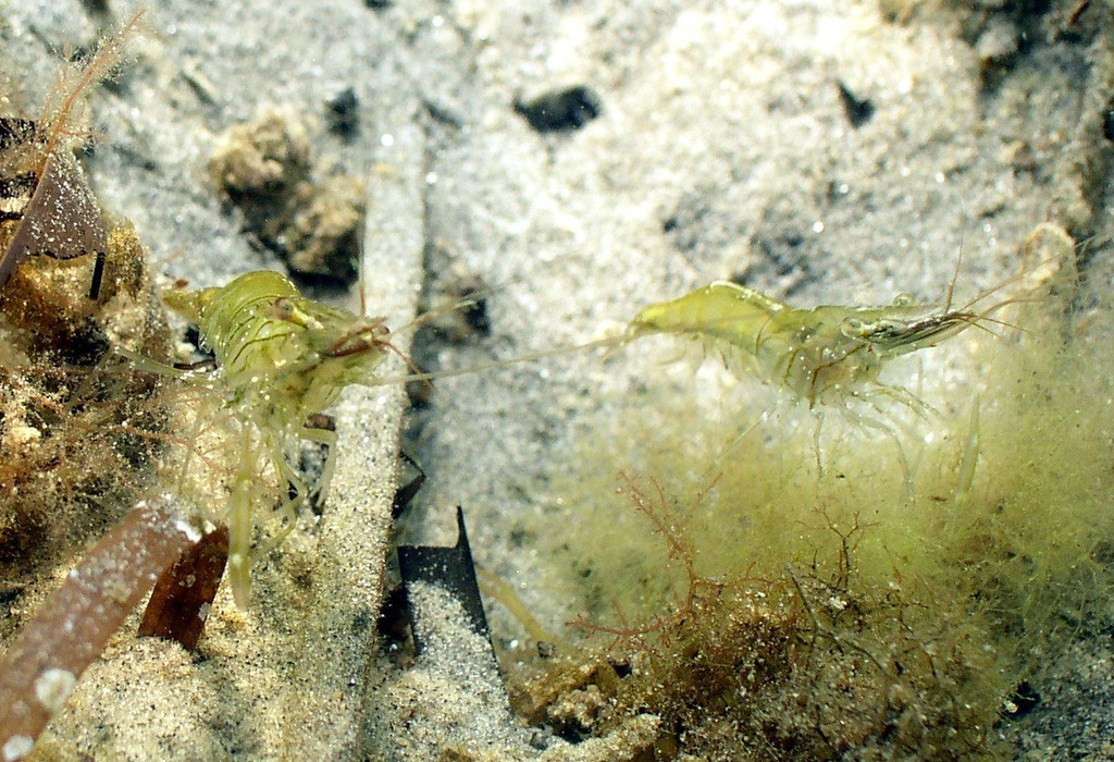 Grass shrimp are an important link in the eel grass bed food chain.