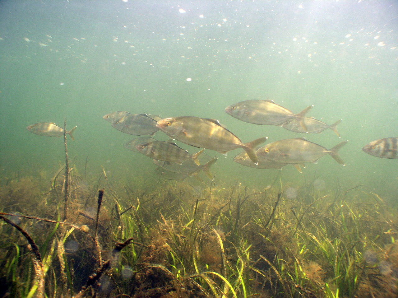 Banded Rudderfish<br /> Seriola zonata<br /> Uses eel grass beds as spawning grounds.<br /> Adults will then migrate out the inlet; back to deeper water.