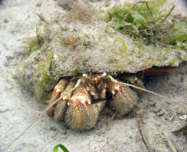 "Hairy Hermit Crab<br /> Pagurus arcuatus.<br /> Using a vacant knobbed whelk shell for protection. Approx. 3in.<br /> Unlike other crabs, their exoskeletons are less calcified and their abdomens are very long.  The soft, vulnerable abdomen of the hermit crab  rarely leaves  the security of its ""borrowed"" home."