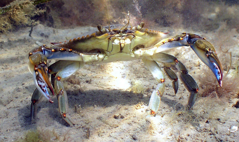 Callinectes sapidus<br /> As a voracious predator, the blue claw crab can swiftly attack with its sharp-toothed chelipeds and can pluck a small fish right of the water. <br /> Picking up a blue claw requires both dexterity and temerity...they pack a fierce pinch!