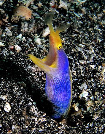 Ribbon Eel<br /> Rhinomuraena quaesita<br /> Kungkungan, North Sulawesi
