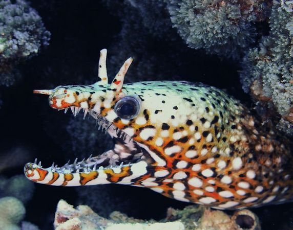 Dragon Moray<br /> Hawaiian name puhi-kauila <br /> Enchelycare pardalis<br /> Kona Coast of the Big Island