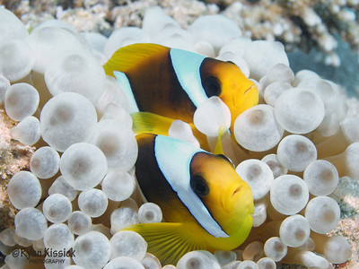Pair of clownfish in a small bubble anemone