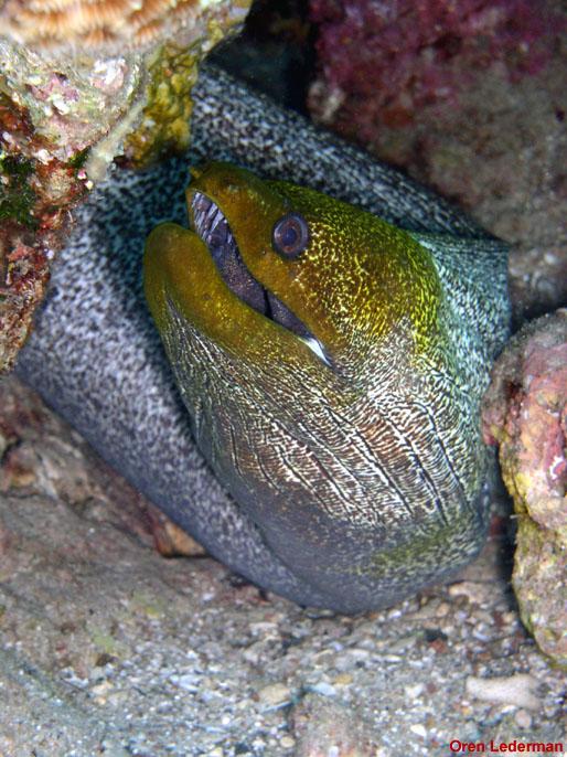 Yellow -edge moray