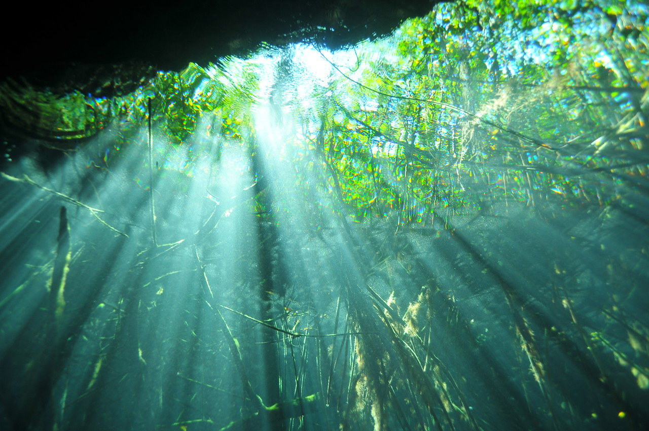 View of surrounding jungle from beneath the freshwater, El Eden Cenote - November 2012