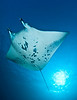 Large Manta Ray, Big Island, Hawaii